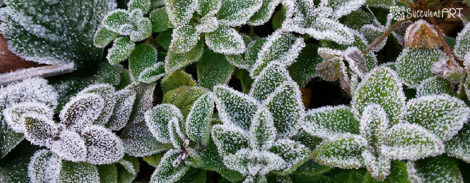Succulents and Frosts