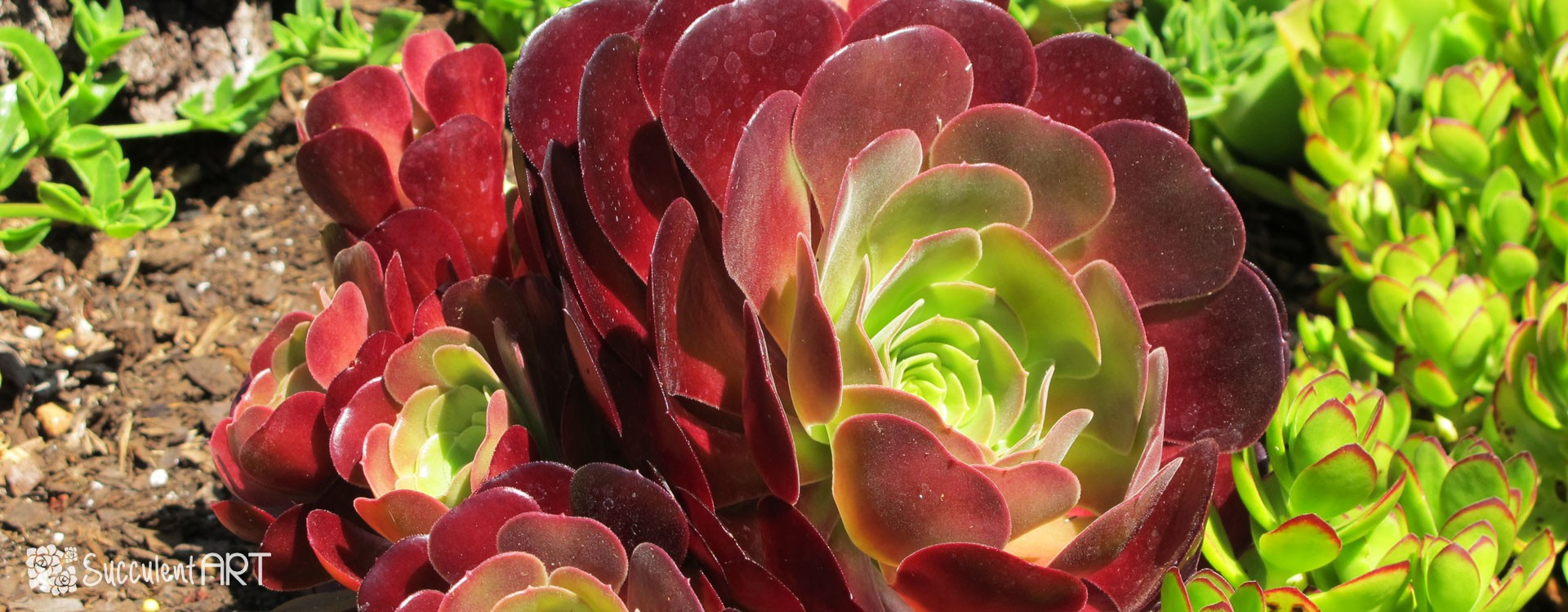 How to Plant Succulents in the Garden