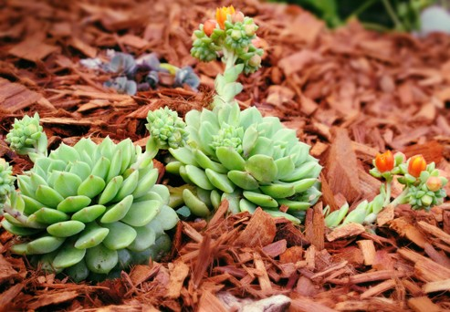 Why you should Mulch your Succulents